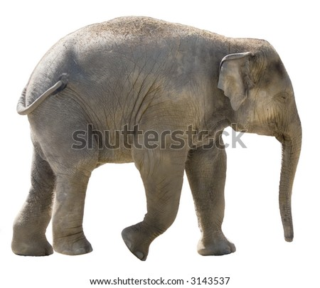 Isolated young african elephant on white background. - stock photo