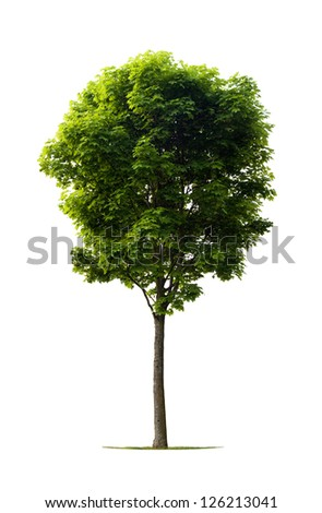 Isolated young maple tree on white - stock photo