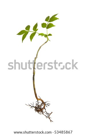 Isolated young plant with roots - stock photo