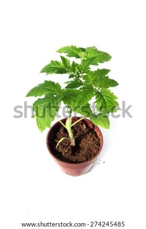 isolated young tomato seedling on white background - stock photo