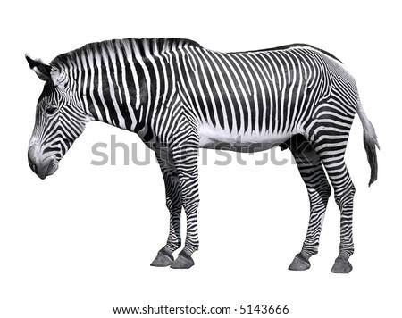 Isolated zebra of Grevy - stock photo