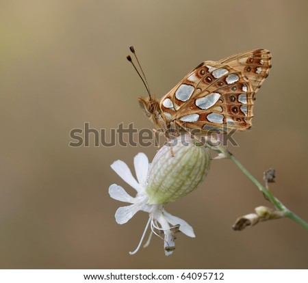 Issoria lathonia Butterfly garding his environment on Silene vulgaris with a perfect background