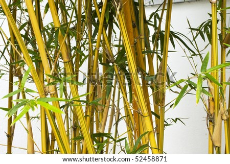 it is a colse up with bamboo forest background. - stock photo