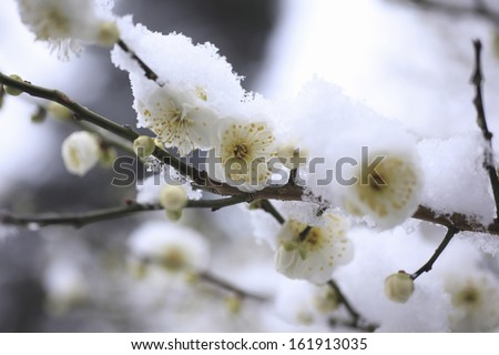 It is a flower of a plum to fresh snow. - stock photo