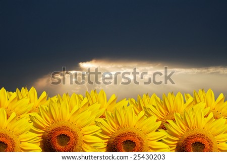 It is  lot of sunflowers of bright yellow color on  background of  dark sky