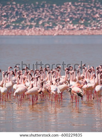 It is picture of flock wild birds flamingos and same birds in sky. Kenya. Africa. Nakuru National Park. Lake Bogoria National Reserve. An excellent illustration.