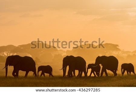 It is pictures silhouettes of African elephants at sunset. It is an excellent illustration in the soft light. - stock photo