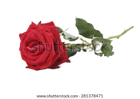 It is Red rose with stem isolated on white. - stock photo