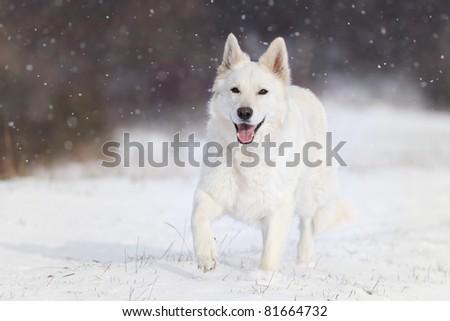 it is snowing White German Shepherd  running in the evening  origin race name also: Weisser Schweizer Schäferhund  Berger Blanc  Suisse Amerikanisch Kanadischer Schäferhund - stock photo