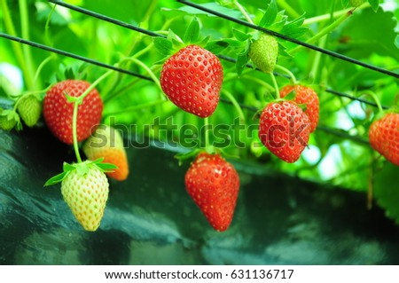 https://thumb7.shutterstock.com/display_pic_with_logo/167494286/631136717/stock-photo-it-is-strawberry-hunting-of-japan-631136717.jpg