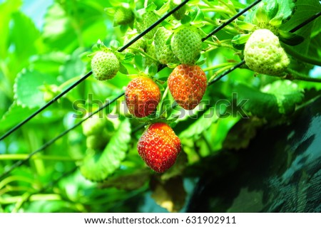 https://thumb7.shutterstock.com/display_pic_with_logo/167494286/631902911/stock-photo-it-is-strawberry-hunting-of-japan-631902911.jpg