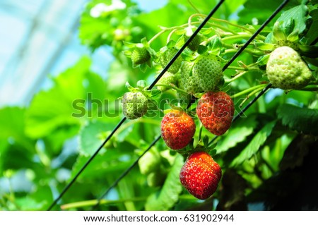 https://thumb7.shutterstock.com/display_pic_with_logo/167494286/631902944/stock-photo-it-is-strawberry-hunting-of-japan-631902944.jpg