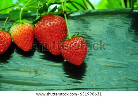 https://thumb7.shutterstock.com/display_pic_with_logo/167494286/631990631/stock-photo-it-is-strawberry-hunting-of-japan-631990631.jpg