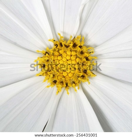 It is Yellow pollen and white petal for pattern. - stock photo