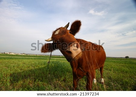 It's a funky cow child - stock photo