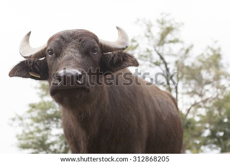 Italian buffalo breeding which produces mozzarella - stock photo