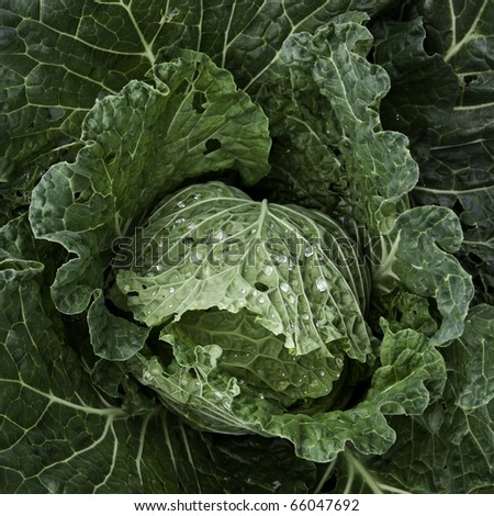 Italian cabbage, cultivated without pesticides in a local farm