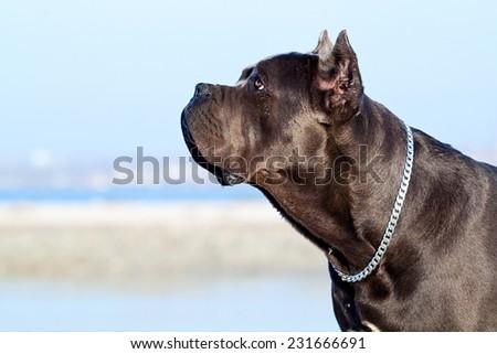 Italian Cane-Corso dog - stock photo