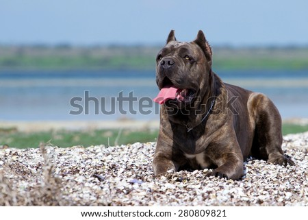 Italian Cane Corso dog - stock photo