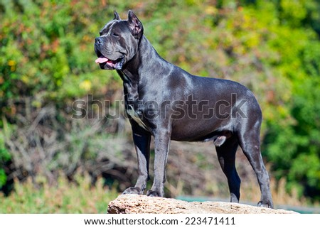 Italian Cane Corso dog in outdoor - stock photo