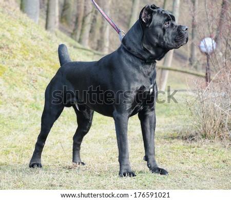 italian cane corso outdoor - stock photo