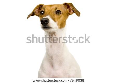 italian greyhound begging isolated - stock photo