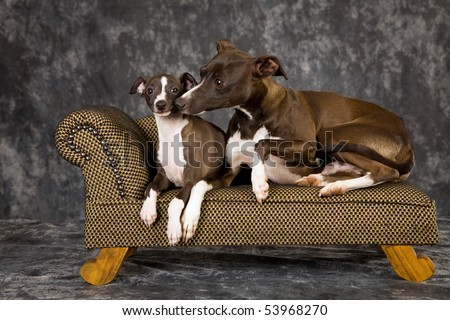 Italian Greyhound dog and puppy on miniature couch chaise on charcoal mottled background - stock photo