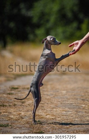 Italian greyhound give a person the paw - stock photo