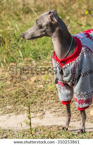 Italian greyhound in the forest - stock photo