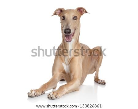 Italian Greyhound on a white background - stock photo