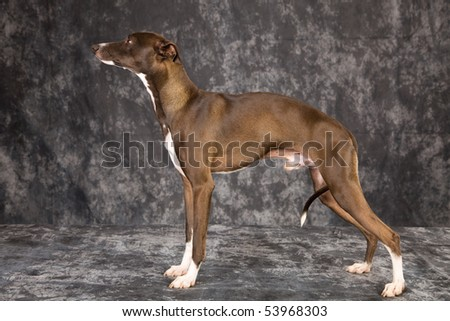 Italian Greyhound show champion on charcoal mottled background - stock photo