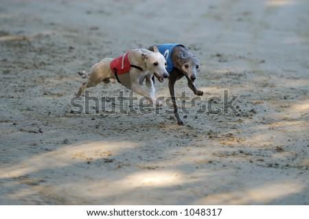 Italian greyhounds on the run - stock photo