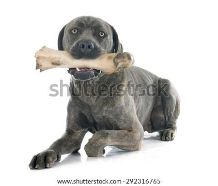 italian mastiff in front of white background - stock photo