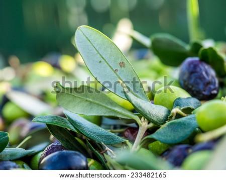 italian mature olives  - stock photo