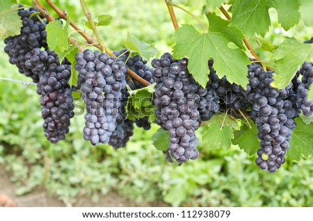 Italian Nebbiolo Red Wine Grapes