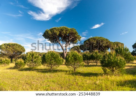 Italian stone pine. landscape with pine trees
