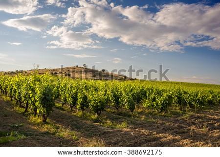 Italian vineyard - stock photo