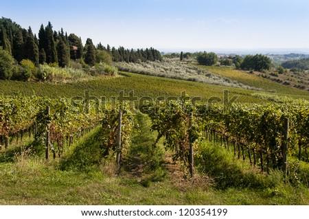 Italian vineyard in summer - stock photo