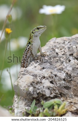 Italian wall lizard, Podarcis sicula, also known as ruin lizard or Istanbul lizard, basking on a rock - stock photo