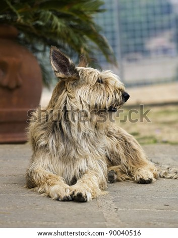 Italy, Berger picard dog - stock photo