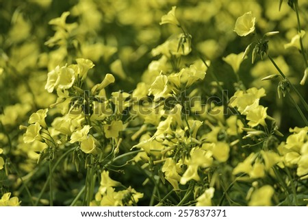 Italy, countryside, bell flowers in the spring - stock photo