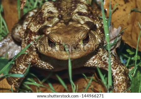 Italy, countryside, common toad (Bufo bufo) - FILM SCAN - stock photo