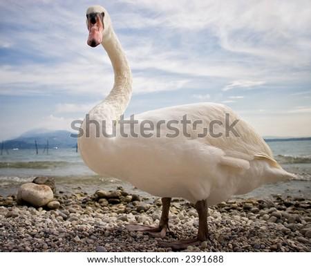 Italy. Garda lake. Swan. - stock photo