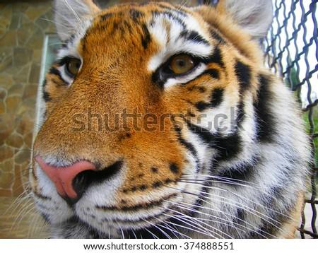 Italy, Rome, Rome zoo, Bengal tiger - stock photo