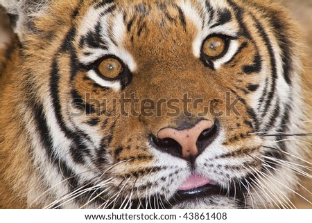 Italy, Rome, Rome zoo, Bengal tiger (Panthera tigris) - stock photo