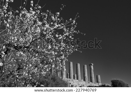 Italy, Sicily, Agrigento, Greek Temples Valley, almond blossom and the Juno Temple (480-420 b.C.) in the background