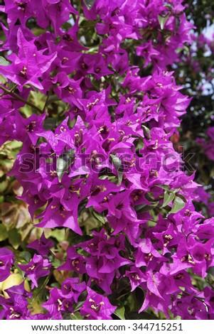 Italy, Sicily, countryside, purple bouganvilleas in a garden - stock photo