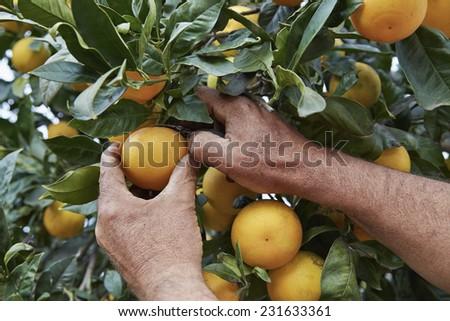 Italy, sicily, countryside, sicilian oranges harvest - stock photo
