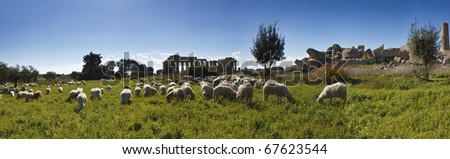 Italy, Sicily, Selinunte, a flock of sheep and the greek Hera Temple (409 b.C.)