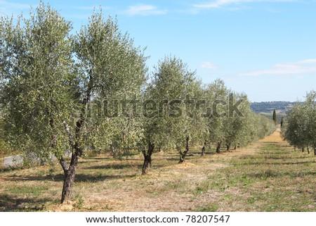 Italy, Tuscany. Plantation of olive trees - stock photo